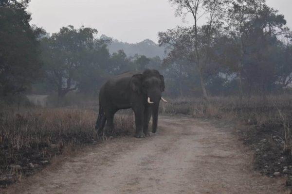 Elephant at Bijrani zone